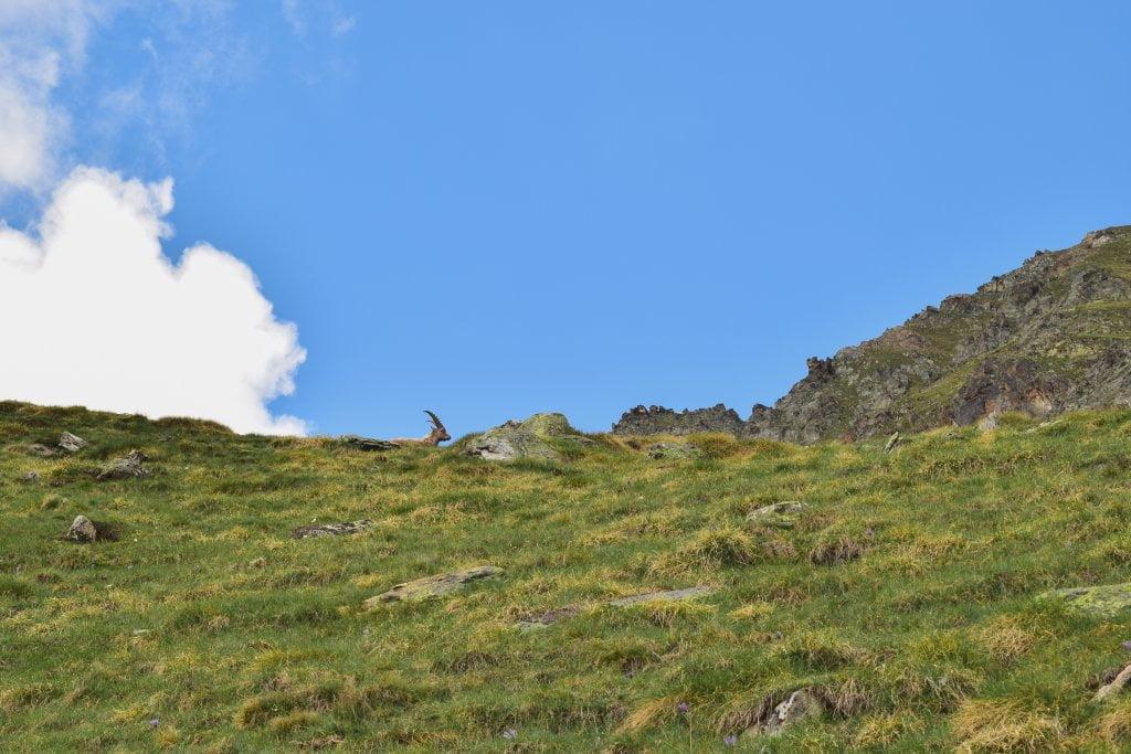 Uno dei tanti camosci che si possono trovare nella val di Cogne. Qui era lungo il sentiero che portava al rifugio.