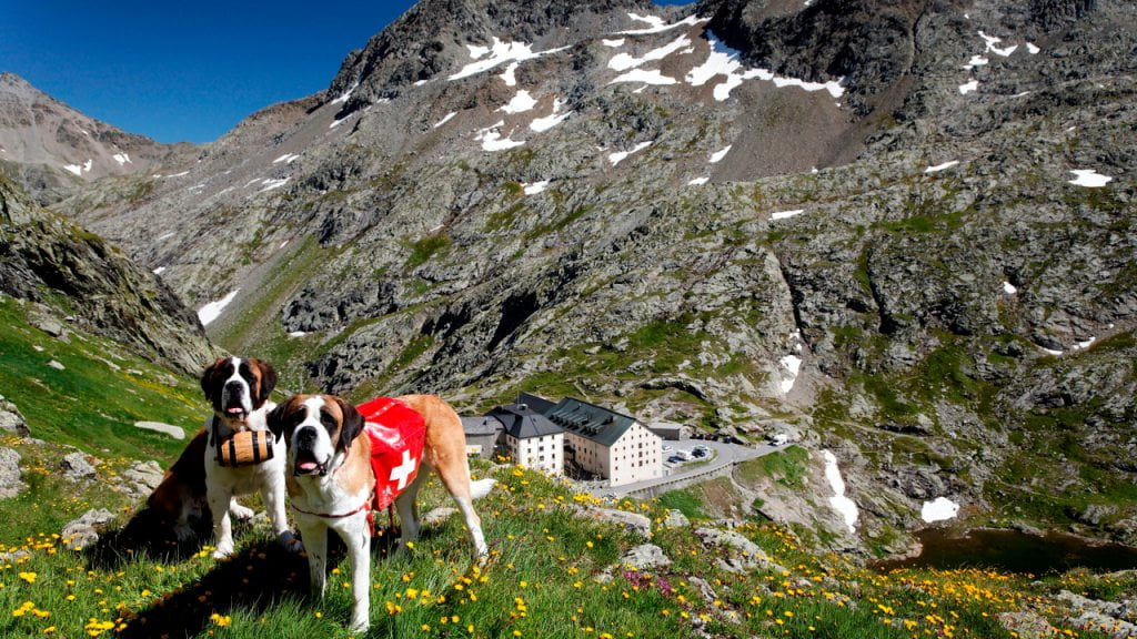 I cani San Bernardo presso l'omonimo Ospizio.