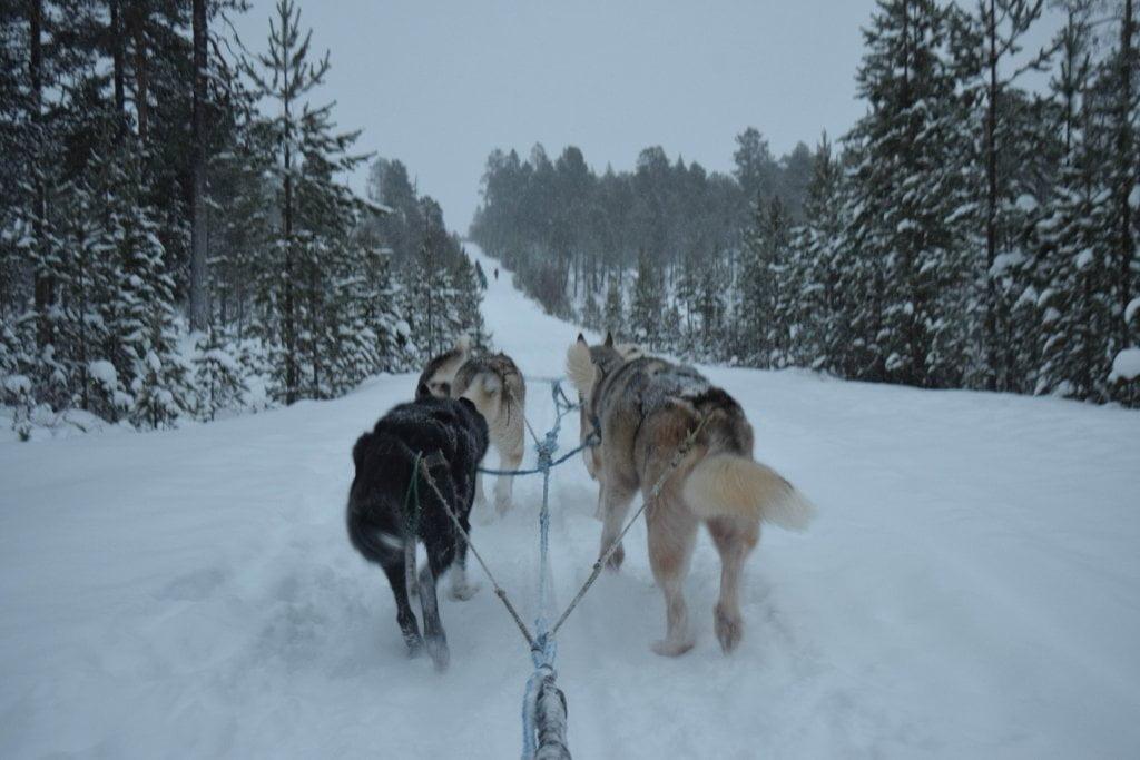 Cani da slitta nei dintorni di Inari.