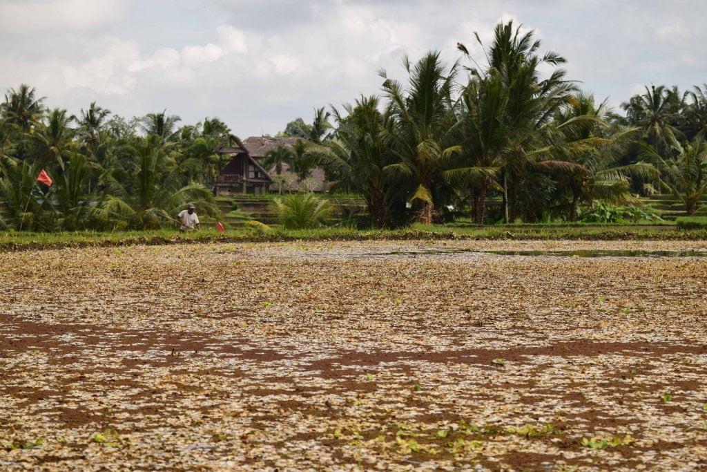 Alcune risaie a Ubud