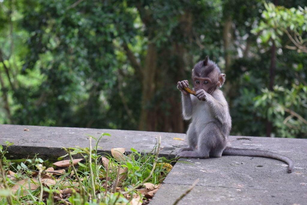 Cosa vedere a Bali: cucciolo di scimmia alla Monkey forest