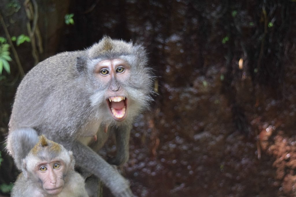 Due scimmie alla Monkey forest di Ubud